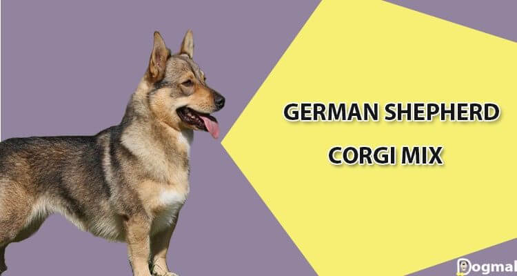 Corgi German shepherd mix characteristics, appearance and ...