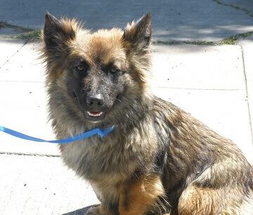 corgi german shepherd mix dog