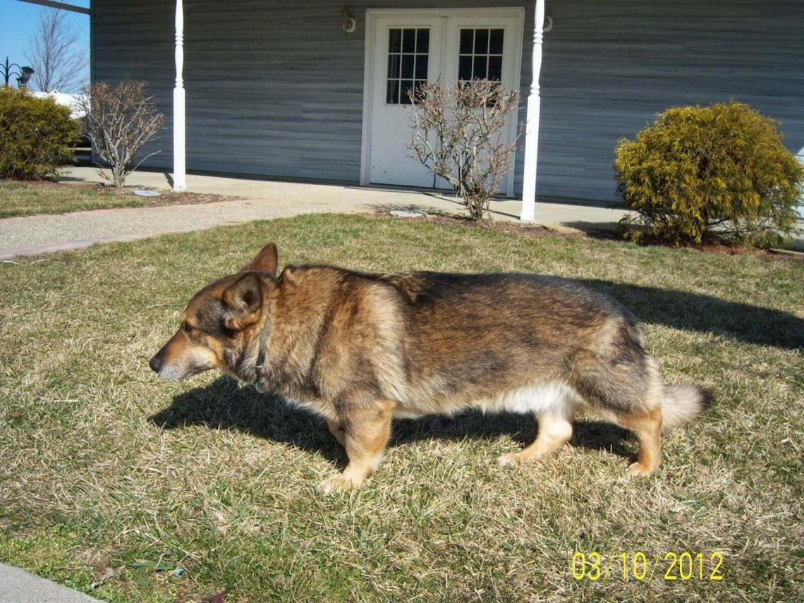 corgi shepherd mix size