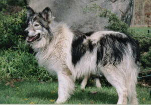 native american indian dog adoption
