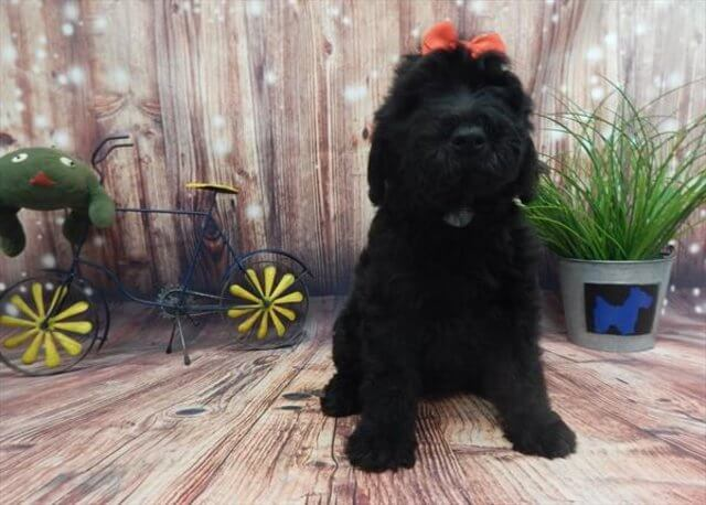scoodle puppy for sale photo