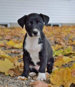 Black Mountain Cur puppy