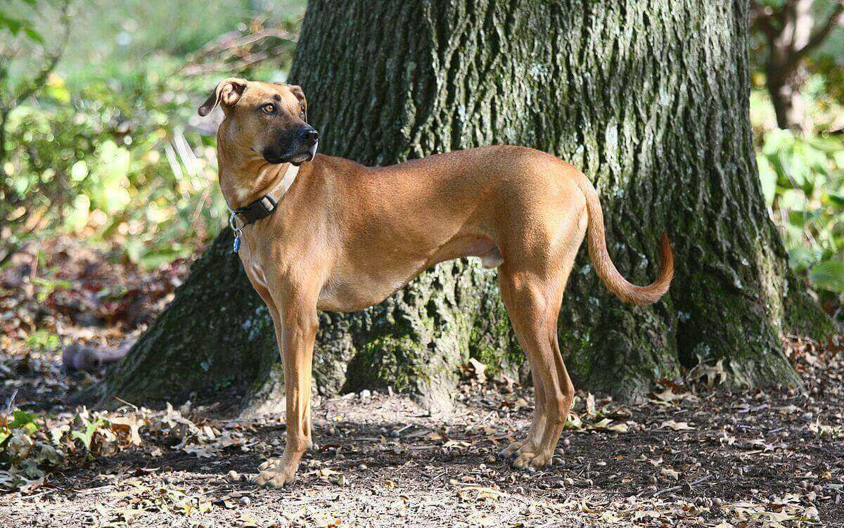 Black mouth cur hd photo