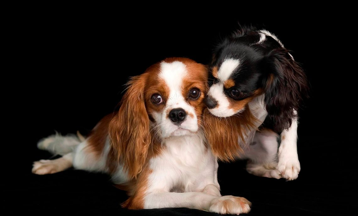 Cavalier king charles spaniel charactristic appearance and pictures king charles spaniel photowallpapersafari charles spaniel hd photo nvjuhfo Image collections