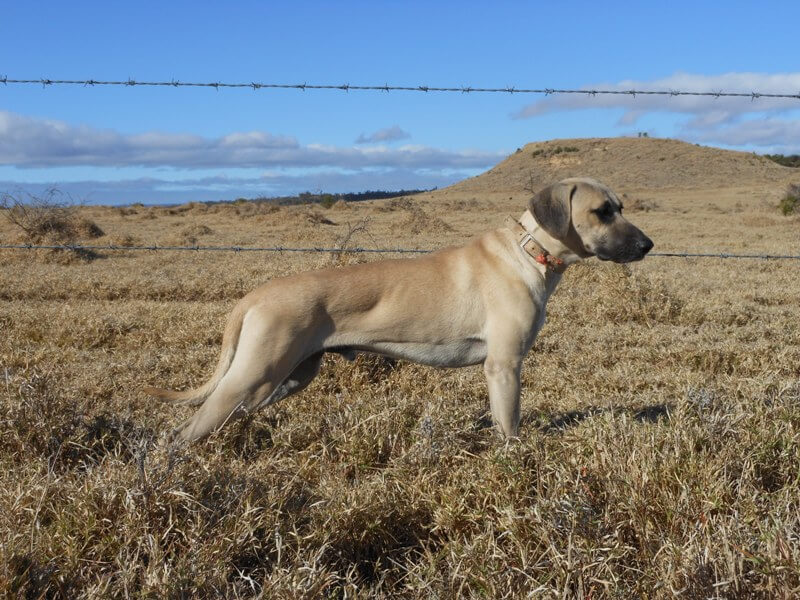 Black Mouth Cur Characteristic
