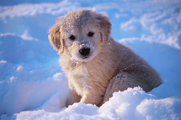 Golden puppy hd photo