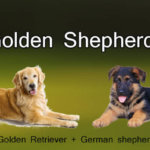 Golden Shepherd