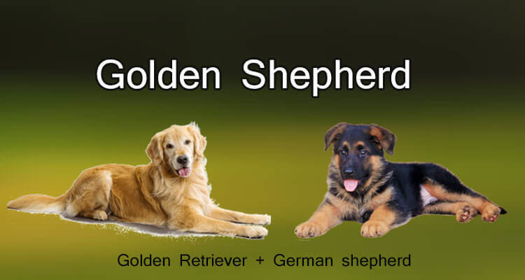 Golden shepherd dog breed