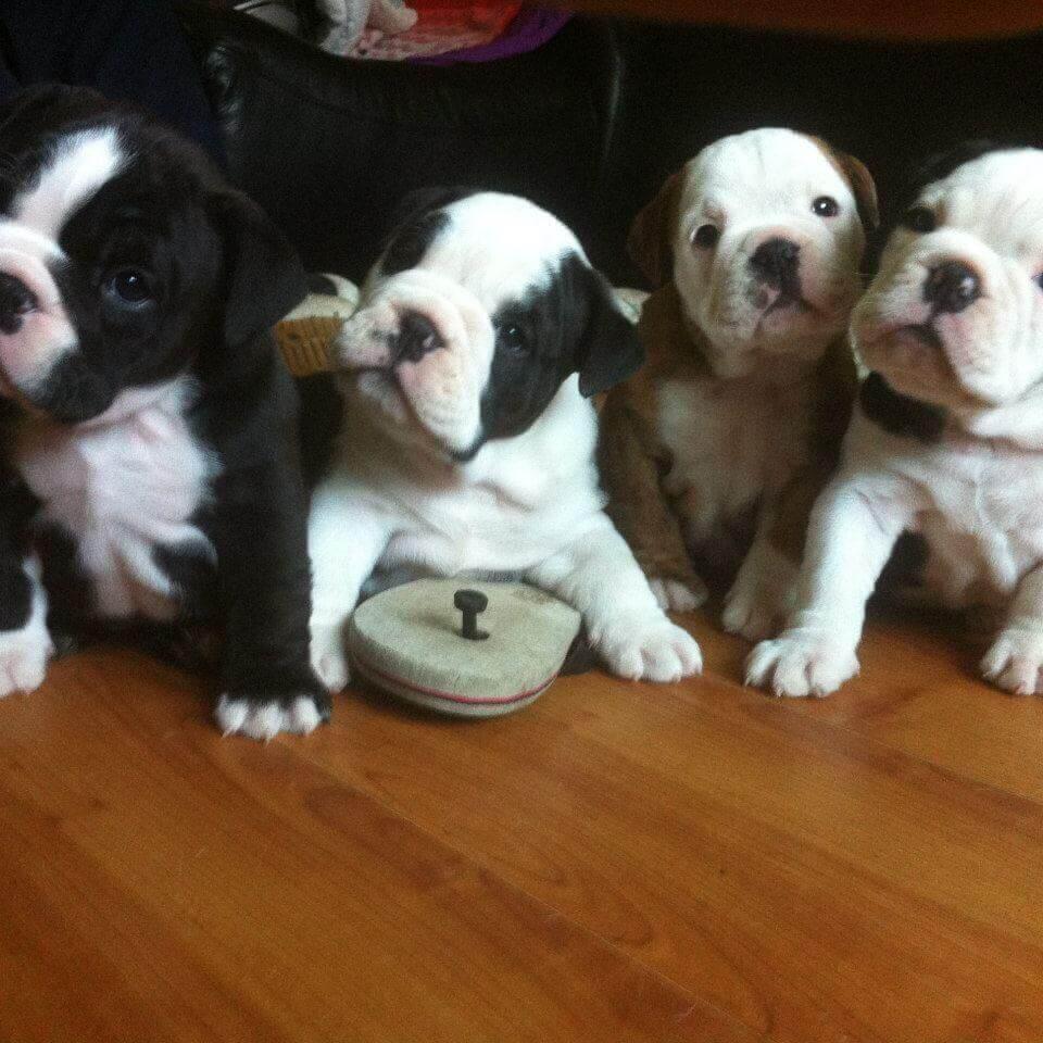 Victorian Bulldogs Puppies