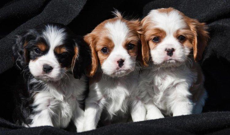 cavalier puppy photo
