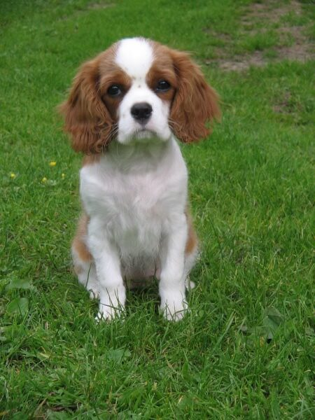 Remarkable, Adult cavalier king charles spaniels for sale variant does
