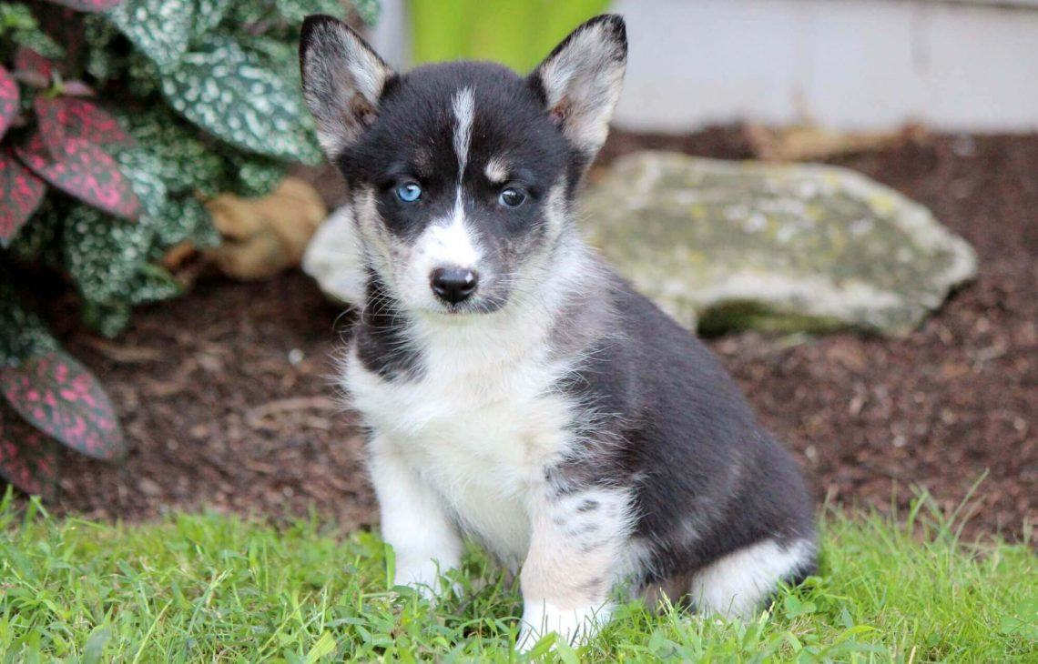 Corgi husky mix information characteristics and pictures