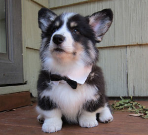 corgi husky mix puppy hd photo