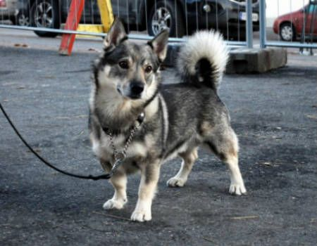 corgi husky mix rescue