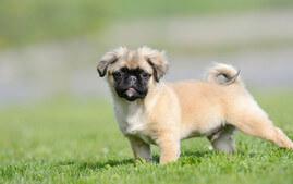 cute peekapoo puppy