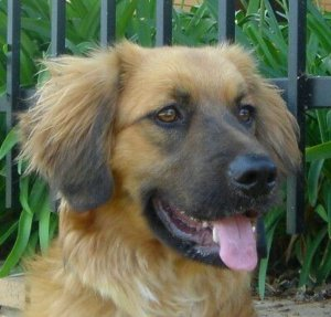 golden shepherd dog pictures