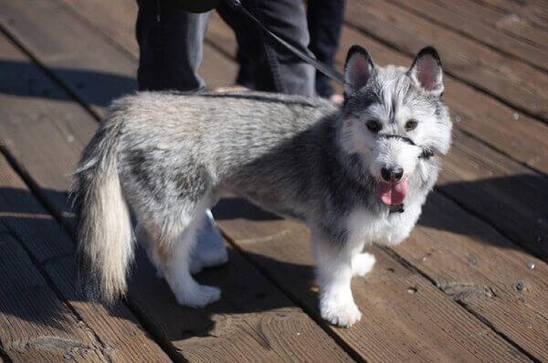 husky corgi mix breeders