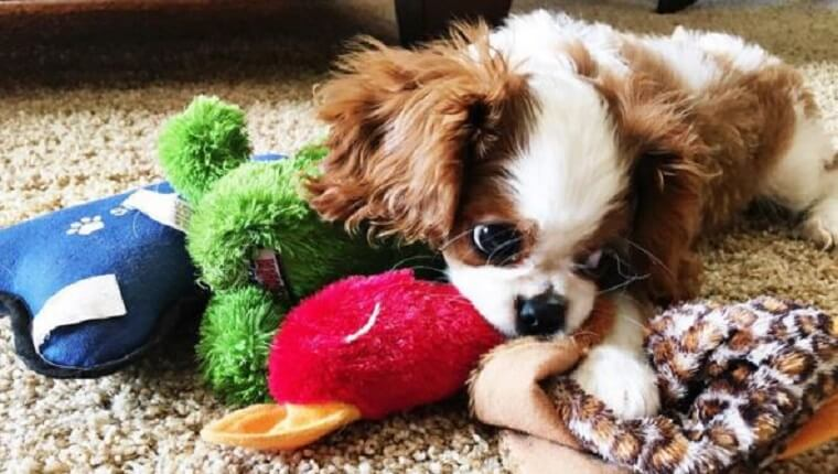 king puppy with toy