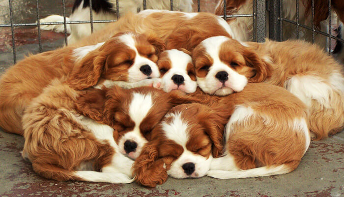 king spaniel puppies
