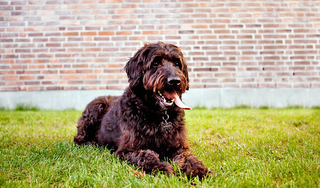 labradoodle photo