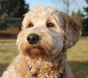 labradoodle pictures