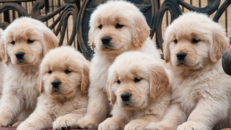 Labradoodle Labradoodle Characteristics Appearance And Pictures
