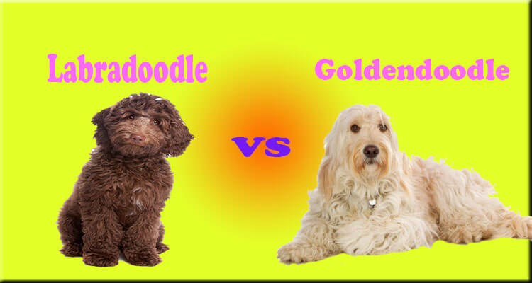 Labradoodle Characteristics Appearance And Pictures