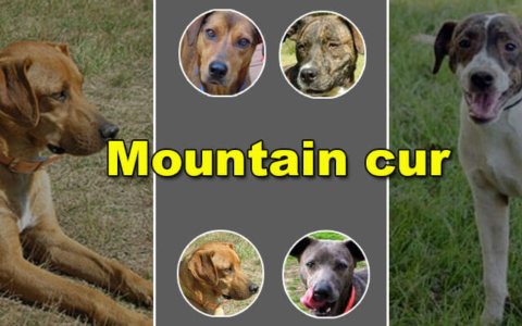 mountain cur