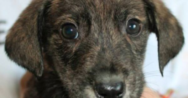 mountain cur puppy photo