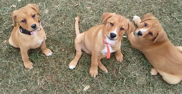 mountain cur puppies photo