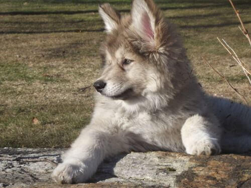 Native American Indian Dog Character Appearance And Pictures