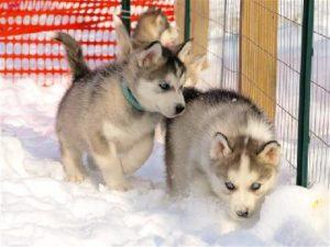 cute wolf puppies howling