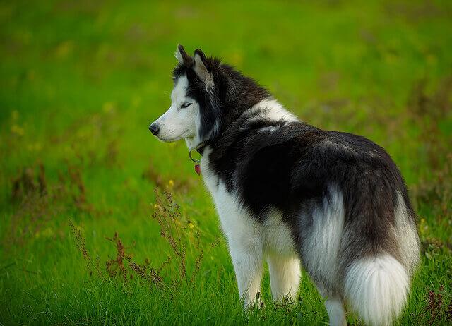 wallpaper pomeranian dog