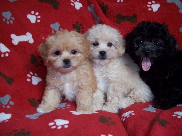 pee-ka-poo_puppies photo