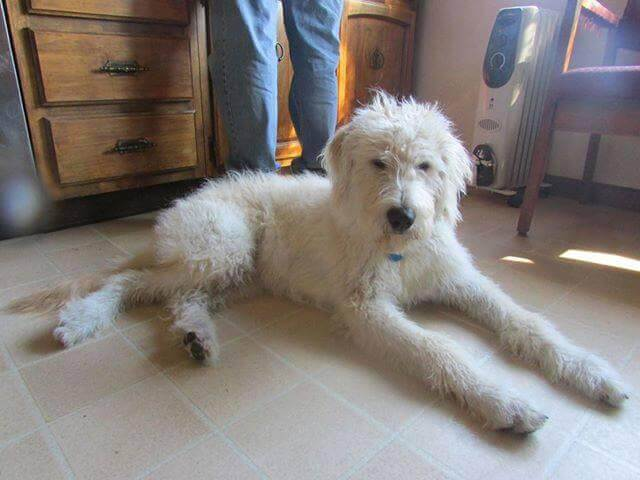 Labradoodle | Labradoodle - characteristics, appearance and