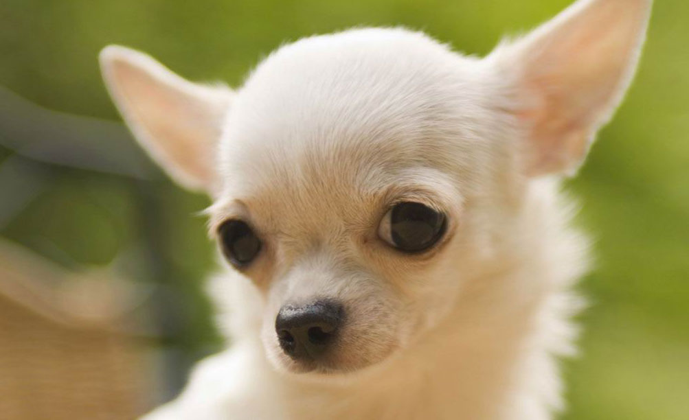 small chihuahua photo
