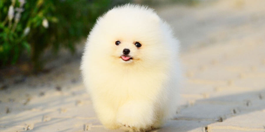 smallest pomeranian photo