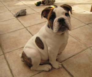 victorian bulldog puppy photo