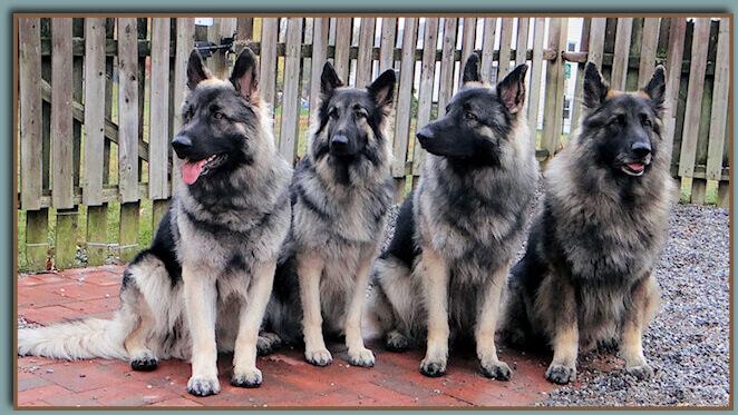Four shilohs dog