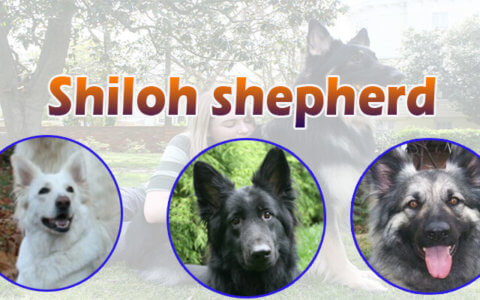 Shiloh shepherd