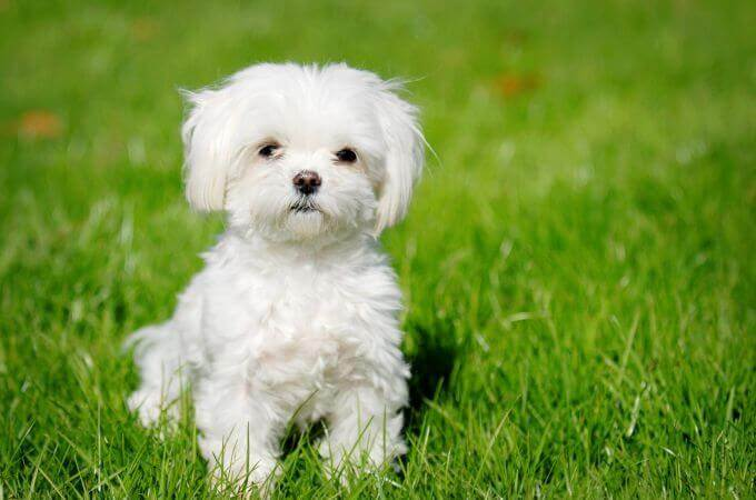 Teacup Maltipoo photo