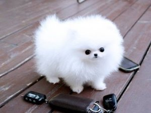Pomeranian Characteristics Appearance And Pictures