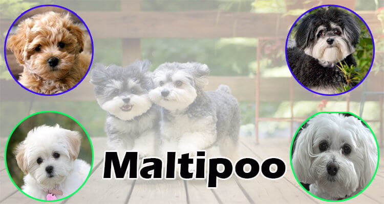 maltipoo dog breed information local puppy breeders ...