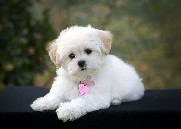 maltipoo puppy photo