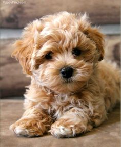 maltipoo puppy photo
