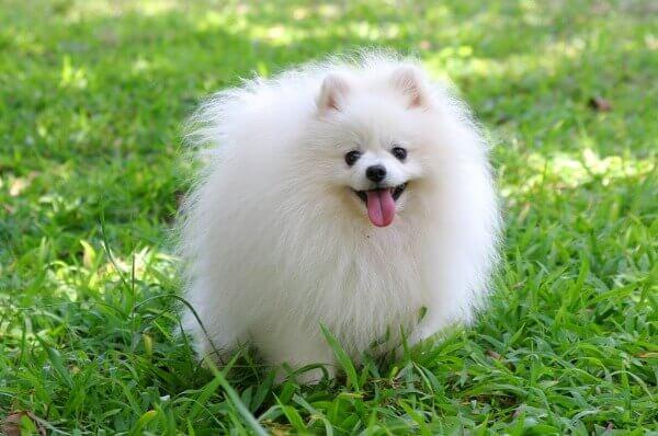 pom puppy photo