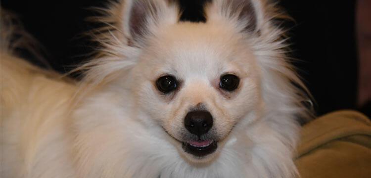 pomchi hybrid dog