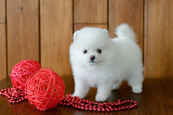 Toy Dogs Breeds For Sale Uk