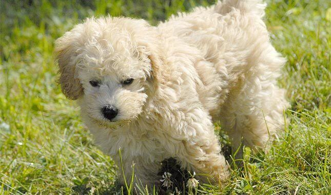 schnoodle_dog