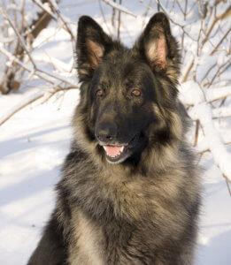 shiloh shepherd picture